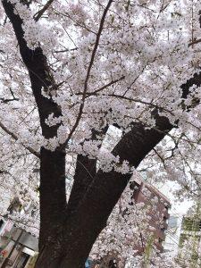 京都 アジョシ 韓国料理 木屋町 高瀬川 桜