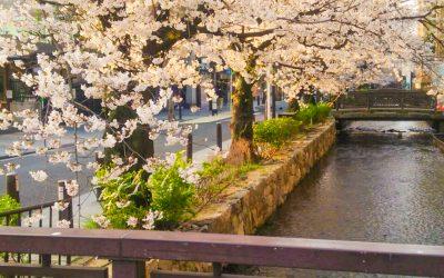 京都 韓国料理 アジョシ 三条木屋町店 桜 高瀬川